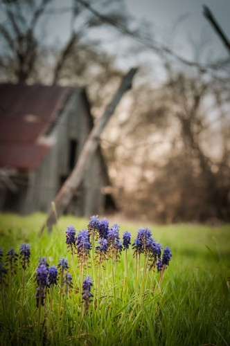 Barn and Grape Hyacinths