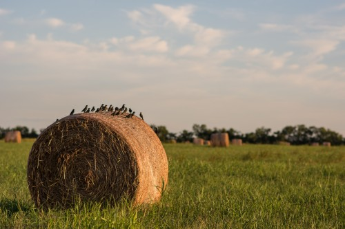 Birds Resting on a Hay Bale