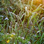 Lens Flare and Tiny Flowers