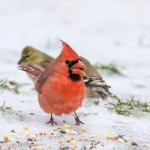 Cardinal and Goldfinches