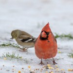 Cardinal and Goldfinch