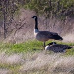 Painted Canada Geese