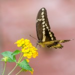 A Swallowtail in our yard