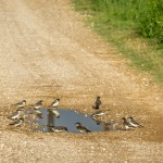 Eastern Kingbirds at a puddle, yes, it rained!