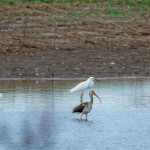 Ibis and Egrets