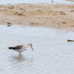 Greater or Lesser Yellowlegs