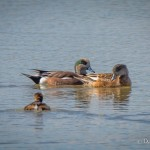American Wigeons and a Grebe
