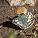 Checkered Skipper, not sure which one