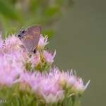 """Painted"" Gray Hairstreak"