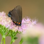 """Painted"" Great Purple Hairstreak"