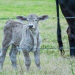 Smoke colored calf