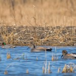 Gadwalls and a Green-winged Teal