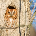 Hooty, the Red Morph Eastern Screech Owl