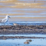 Bonaparte's Gull and Least Sandpipers