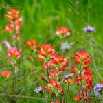 Indian Paintbrush and Verbena