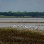 Great Egrets and a Snowy