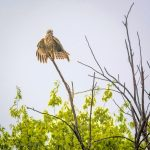 Hawk Drying