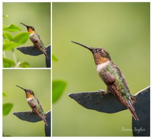 Orange throat - Hummingbird