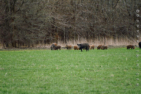 Feral Hogs and Pigs